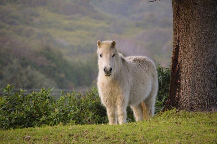 Poni blanco pelo largo