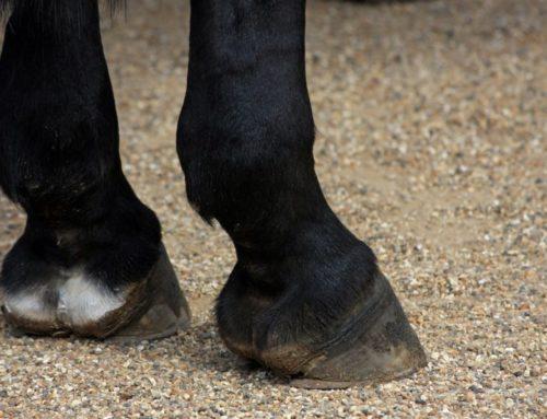 Cómo cuidar los cascos del caballo