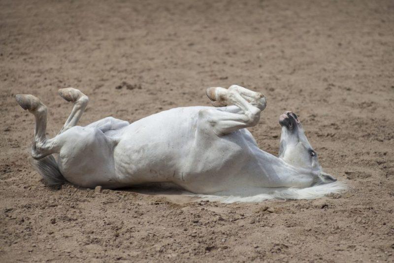 Caballo blanco se revuelca por el suelo