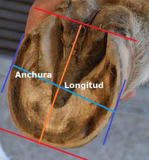 casco de caballo visión palmar para medir casco para zapatos botas barefoot