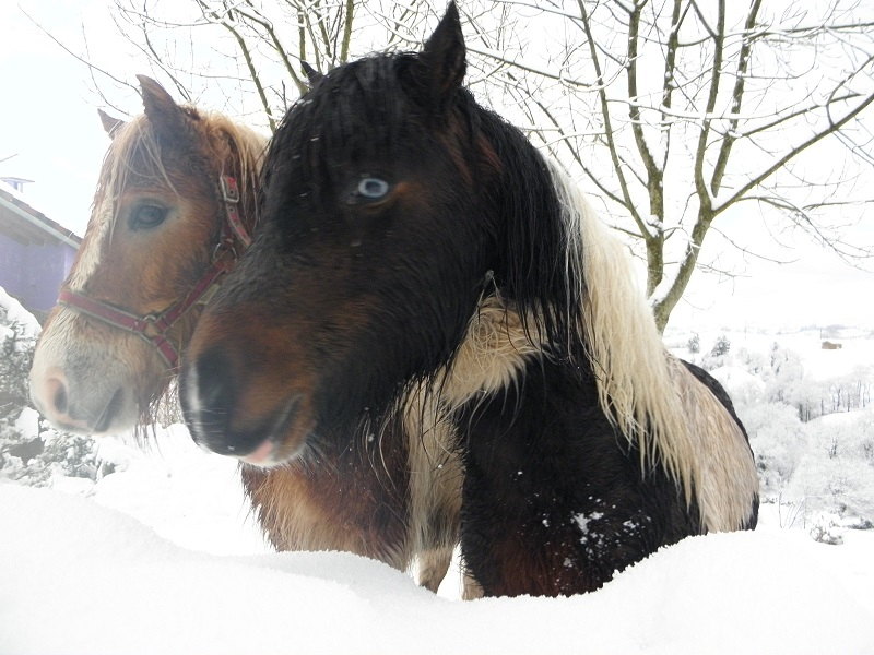 Poni Shetland pinto de ojos azules