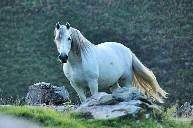 caballo tordo en fase blanca los colores del caballo